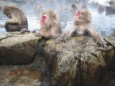 macaco japonés 2