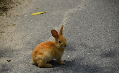 conejos en Okunoshima