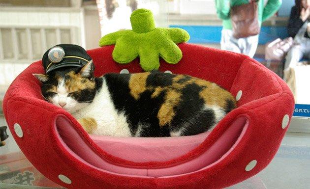 Tama, gato descansando