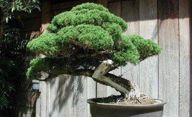 árbol de bonsái