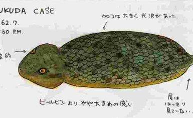 tsuchinoko 3