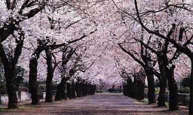 Microcuentos Sakura