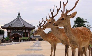 Los famosos venados de Nara