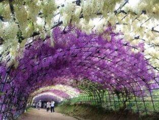 Jardín de Glicinias de Kawachi
